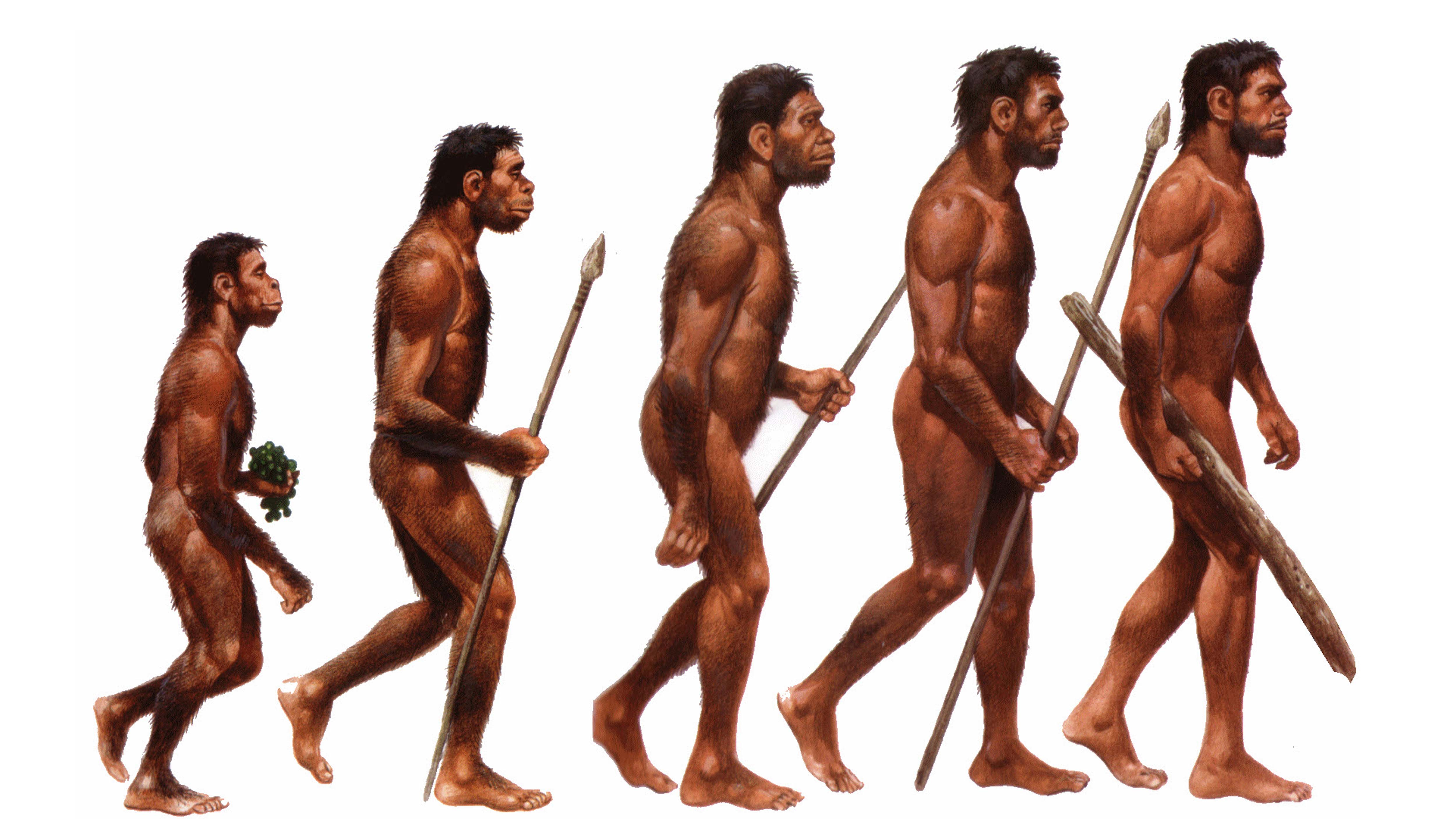 natural selection and the evolution of the homo sapiens