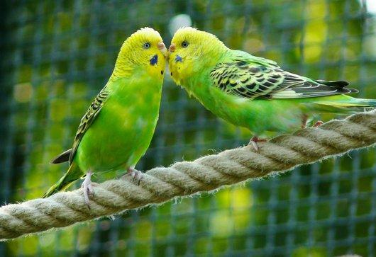 zoenen papegaaien dating